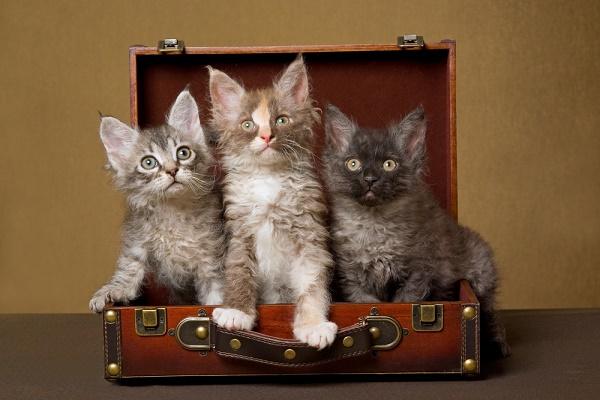 three-laperm-kittens-suitcase-shutterstock_38853544