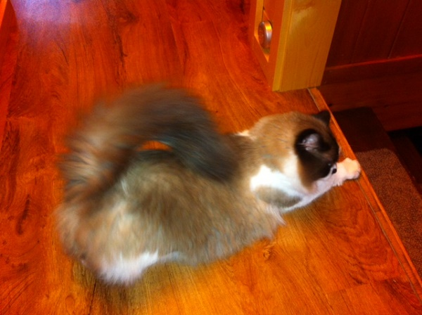 zorro-playbow-shows-off-tail
