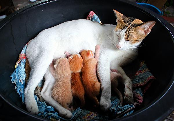 1-cat-nursing-kittens-215563270