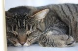 A tabby asleep at Cat Town.