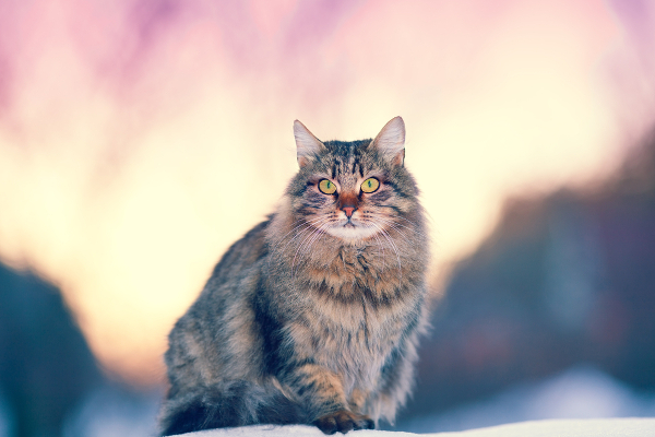 5-cat-allergy-siberian-01-183807278