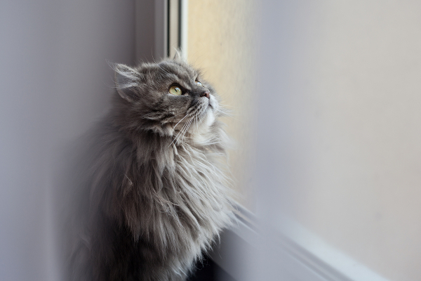 6-cat-allergy-siberian-window-227877526
