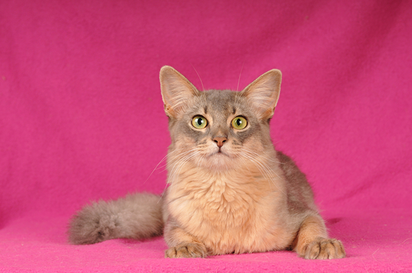 Blue Somali against a pink background