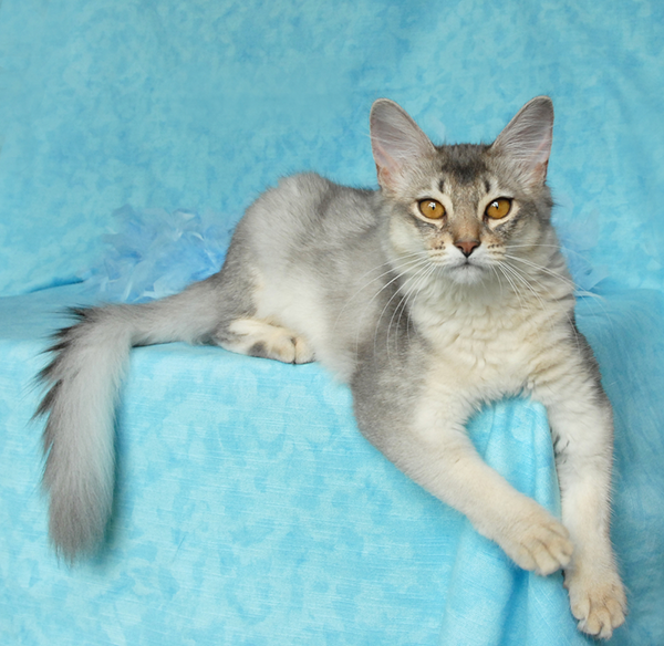Silver Somali against a pale-blue background