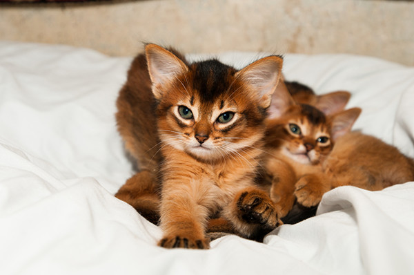 Ruddy Somali kittens