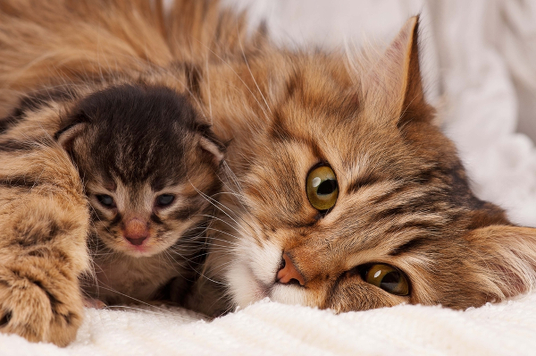7-cat-allergy-siberian-kitten175632413