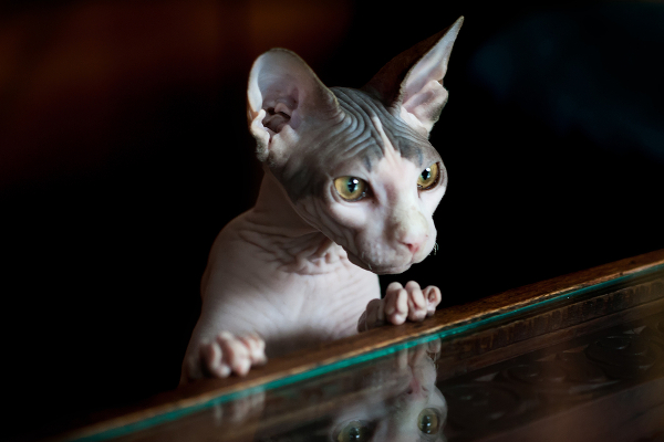 8-cat-allergy-sphynx-266884010