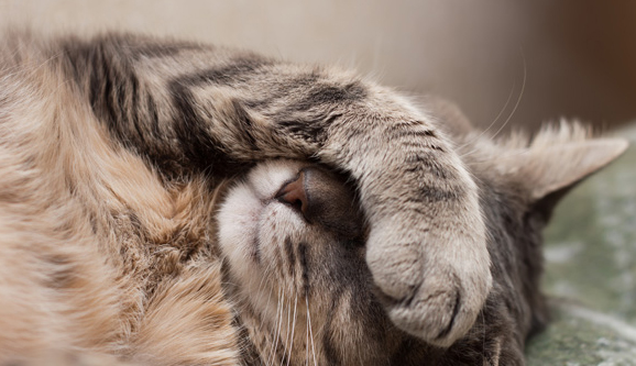 Cat covering face