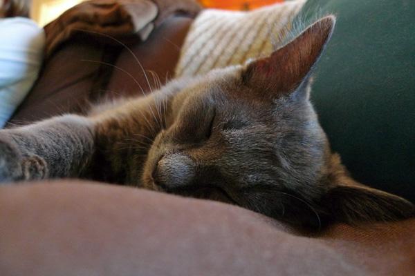Grey sleeping cat.