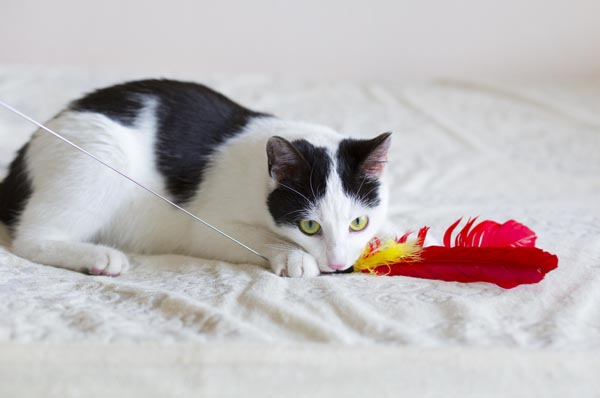 Playing then feeding your cat can mimic the hunt