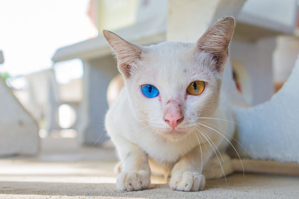 abnormal eye color in cats