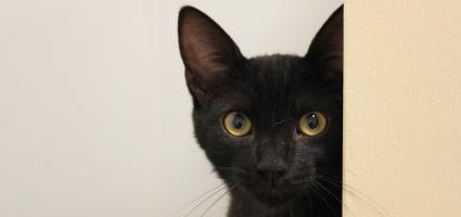 A black cat peering at the camera.