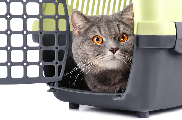A gray cat poking his head out of a carrier.