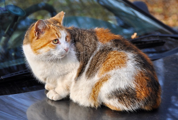 cat-sits-on-roof-of-car-shutterstock_228096790
