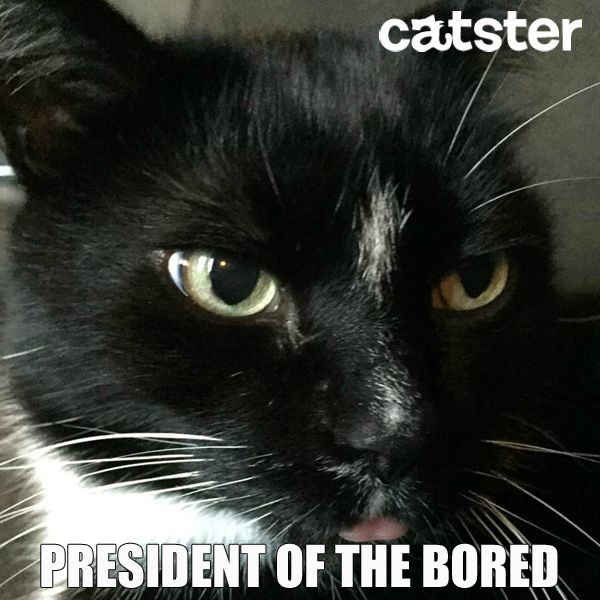 president-of-the-bored-cat-puns