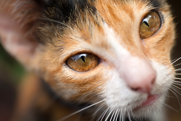 Amber-eyed calico cat.