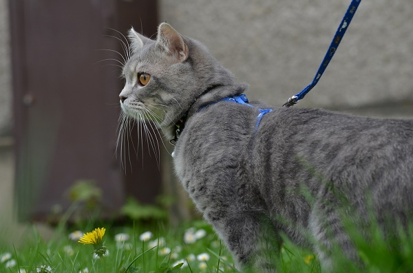 A gray cat on a leash.