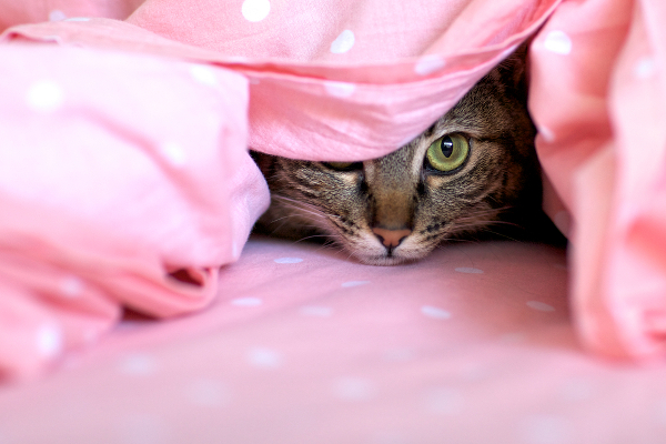 A cat hiding under the covers.