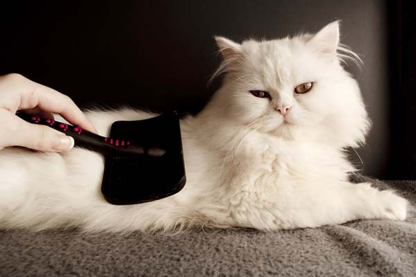 White cat getting brushed.