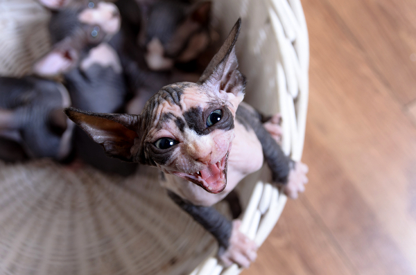 Sphynx Cats — 5 Things to Know About Living With Hairless