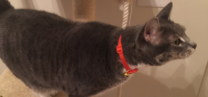 A grey cat in an orange collar peering from a cat tower