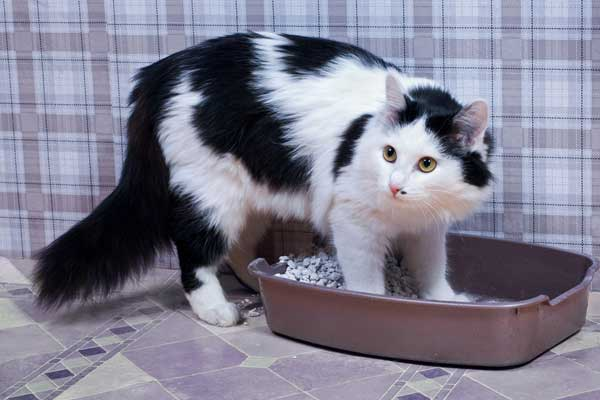 A black and white cat using a litter box by Shutterstock.