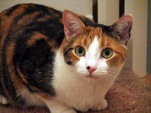 A calico cat with a nose freckle.