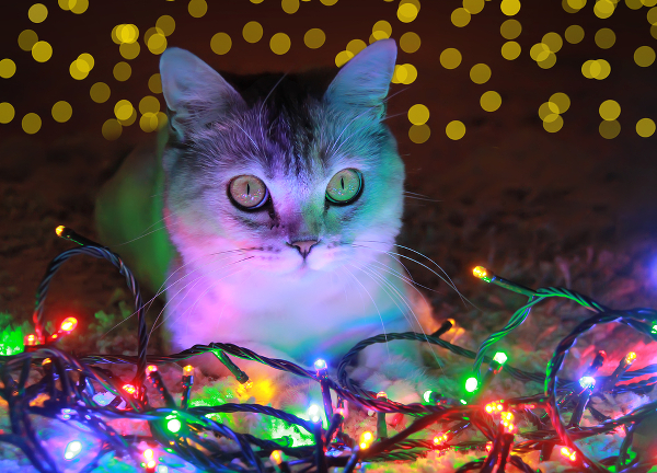 A cat and holiday lights.