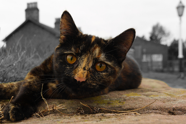 A tortoiseshell cat lying on the ground, staring at the camera.