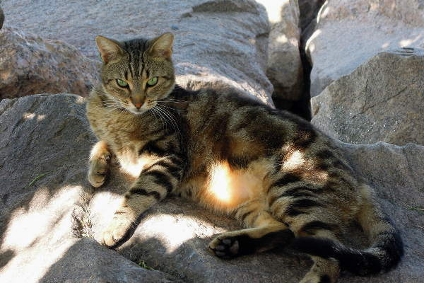A feral tabby lounging on a seawall.