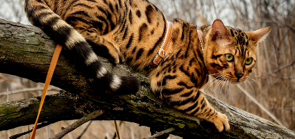 10 Reasons The Bengal Is More Than Just A Wild Child Catster