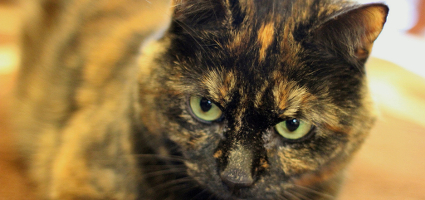 An angry-looking tortoiseshell cat.