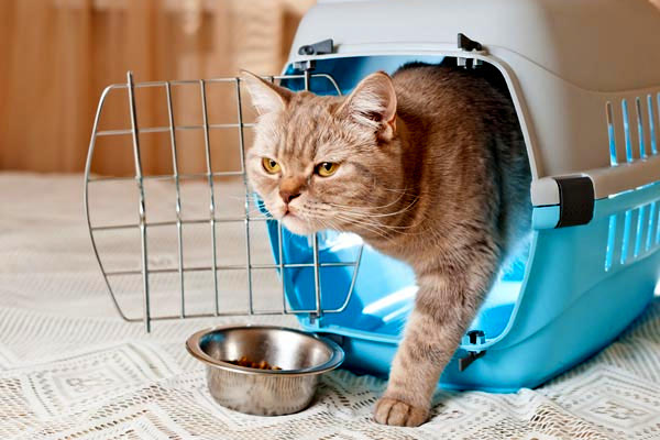 An orange cat coming out of his carrier.