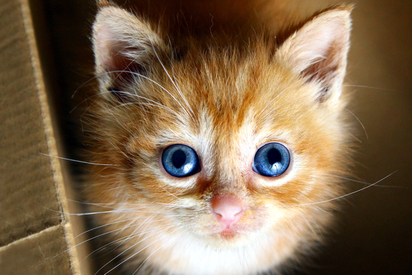 An orange tabby kitten with blue eyes.
