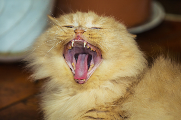 A yellow cat yawning and showing teeth.