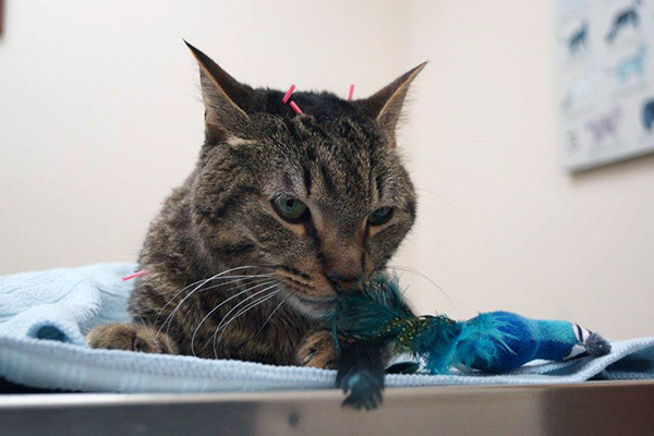 Acupuncture Can Be a Valuable Healing Tool for Cats