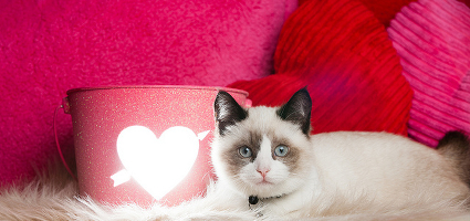 A ragdoll kitten in a Valentine's Day tableau.