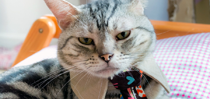 personality traits of american shorthair cats