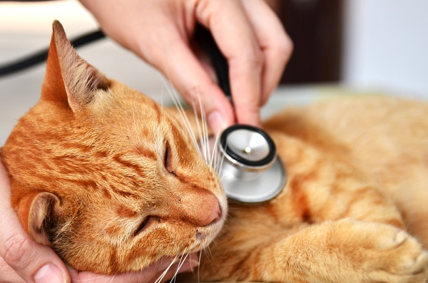 A vet listens to an orange tabby cat's heart.