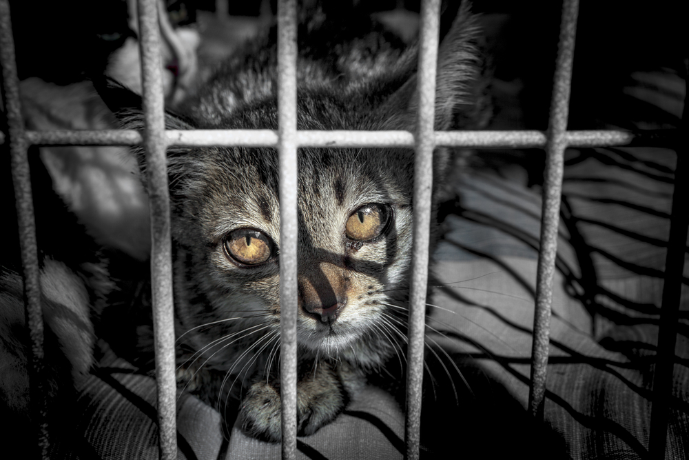 Cat in a shelter cage by Shuttestock.