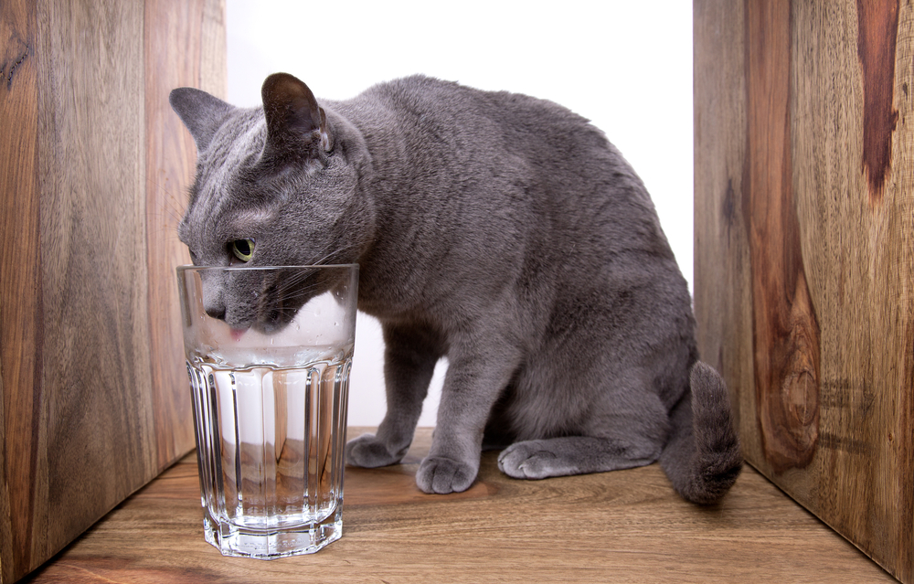 Russian Blue with water by Shutterstock.