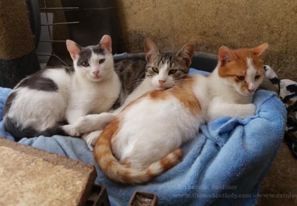 JSPCA-3-cute-cats