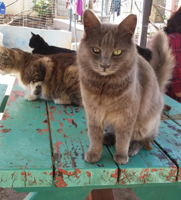 JSPCA-grey-cat