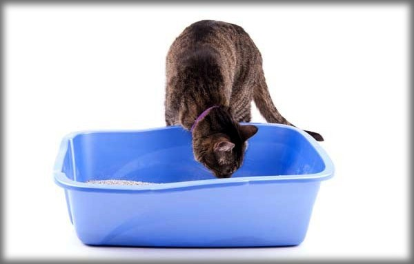 Smelling-litter-box-shutterstock_403650199a