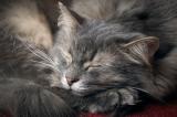 A gray cat sleeping.