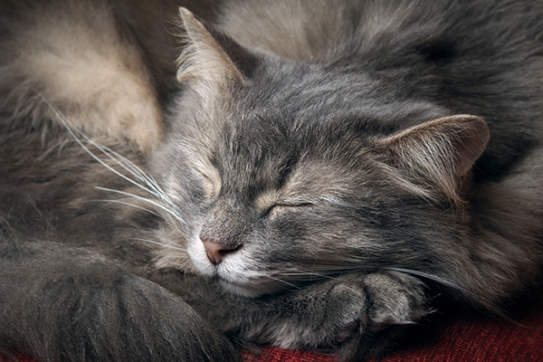 Long-haired gray cat sleeping