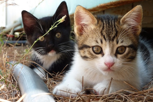 Two kittens outdoors in straw.
