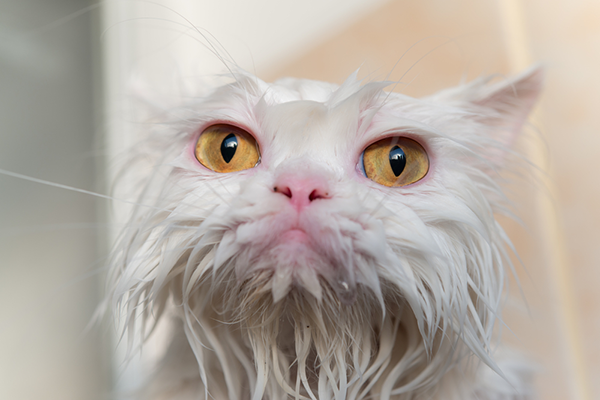 A soaking-wet white cat
