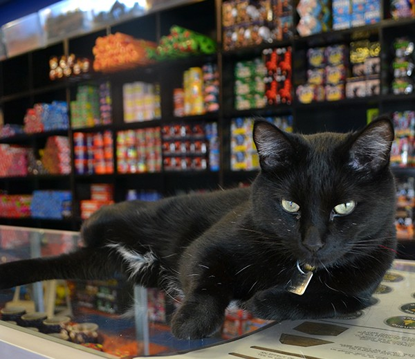 Nibbles three legs bring him to the counter of Archangel Fireworks for cuddles.