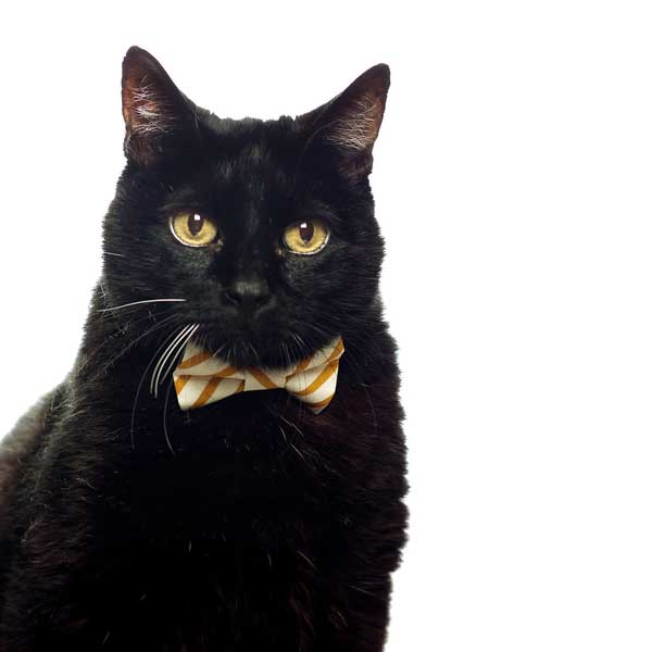 Cecil in a Sweet Pickles bow tie at the Oregon Humane Society. Photo courtesy Morgan Green-Hopkins.